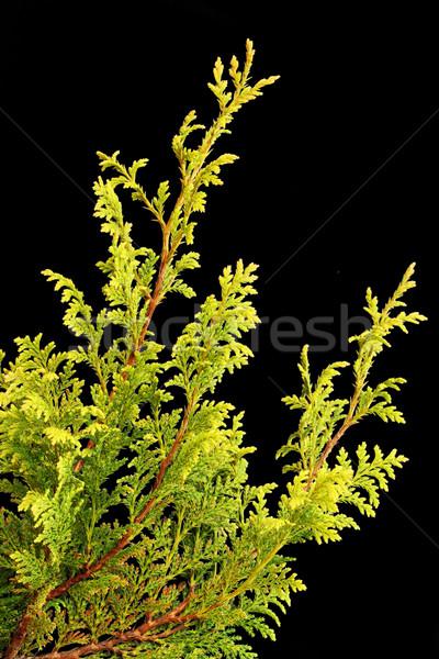 Branch of a Golden Thuja Stock photo © vavlt