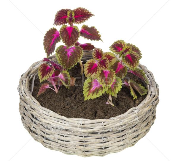 Favori bitkiler kırmızı yeşil Stok fotoğraf © vavlt