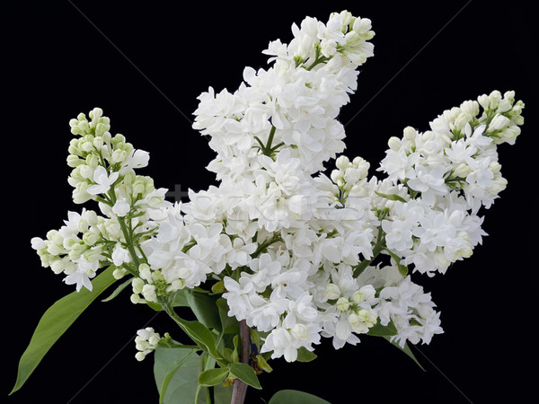 White  lilac isolated on  black Stock photo © vavlt