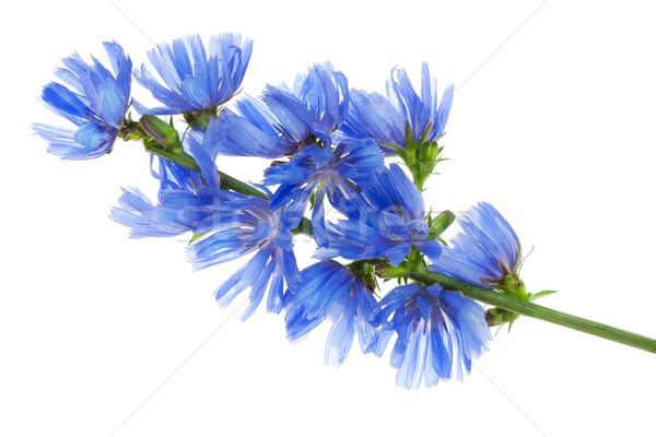 фантастический синий василек филиала макроса Сток-фото © vavlt