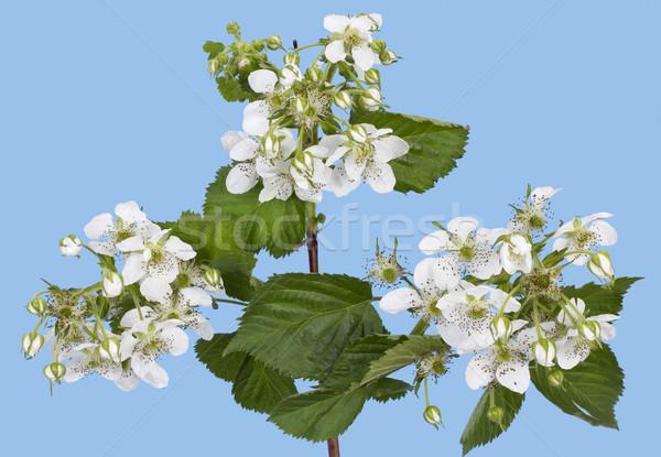 Tavasz málna bokor fehér virágok ciánkék égbolt Stock fotó © vavlt
