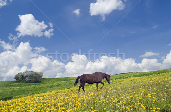 Horse, sky and meadow Stock photo © vavlt