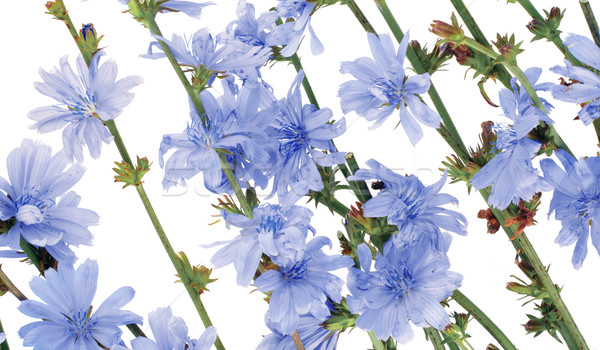 Field wild cornflowers Stock photo © vavlt