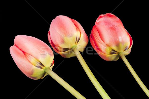 Backside of three red tulips on black Stock photo © vavlt