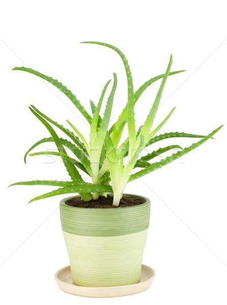 Medicinal  indoor plant - 'Aloe' Stock photo © vavlt