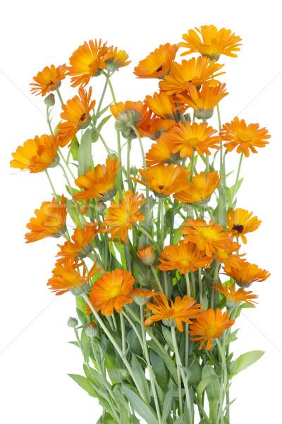 Nagy izolált bokor narancs virágok orvosi Stock fotó © vavlt