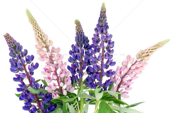 Bluebonne bouquet  Stock photo © vavlt