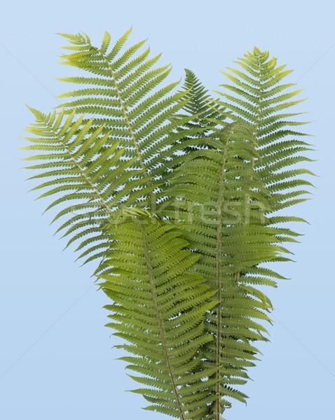 Páfrány igazi bokor izolált égbolt erdő Stock fotó © vavlt