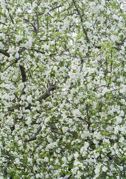 Voorjaar bloemen appel tuin Stockfoto © vavlt