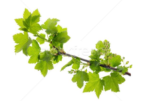 Születés fekete ribiszke izolált tavasz gyümölcs Stock fotó © vavlt