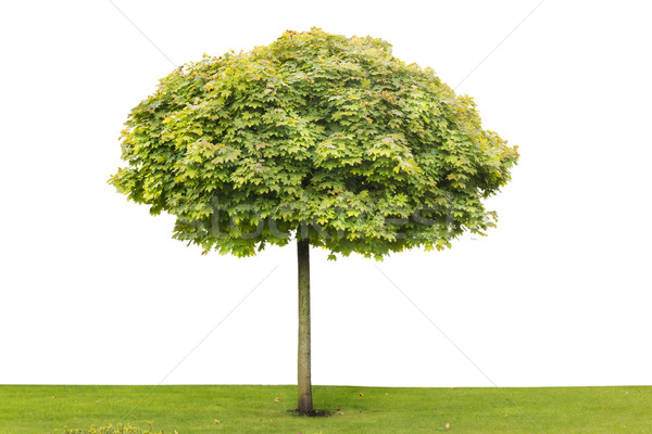 Maple isolated tree Stock photo © vavlt