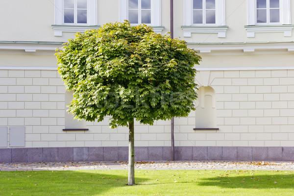 Malade érable arbre croissant jardin public Photo stock © vavlt