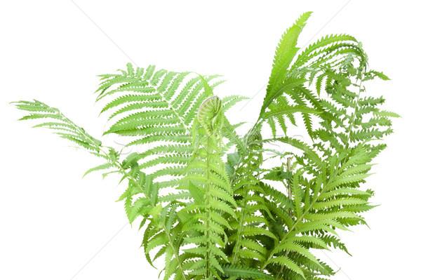 Vad páfrány bokor izolált erdő zöld levelek Stock fotó © vavlt