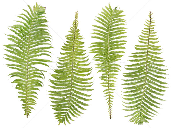 fern  leaves set  Stock photo © vavlt