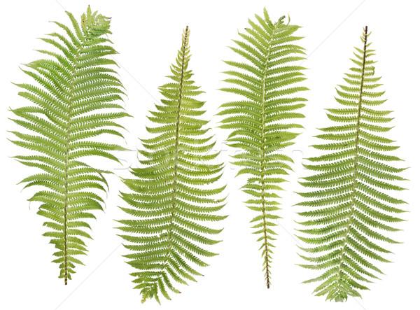 Feto folhas conjunto floresta madeira verde Foto stock © vavlt