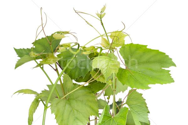 Voorjaar druiven groene bladeren textuur Stockfoto © vavlt