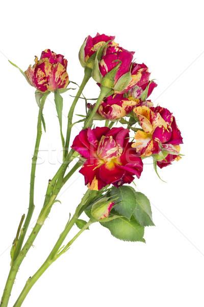 Geïsoleerd eenzaam Rood rose klein zeldzaam Rood Stockfoto © vavlt