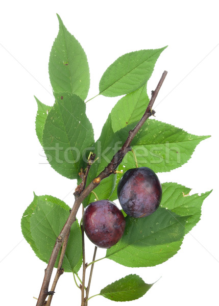 Real isolated ripe plums Stock photo © vavlt