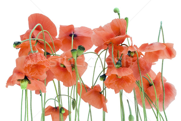 Lonely withering poppies Stock photo © vavlt