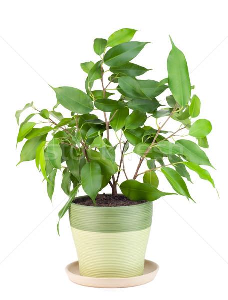 Sapling a favourite indoor plant 'Ficus' Stock photo © vavlt