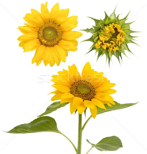 Set of the isolated sunflowers Stock photo © vavlt