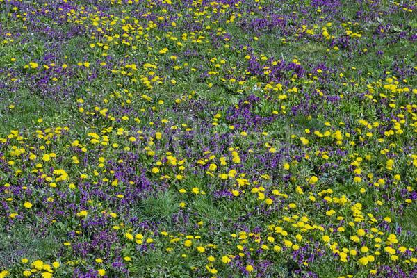 Voorjaar weide groen gras Geel paardebloem magenta Stockfoto © vavlt