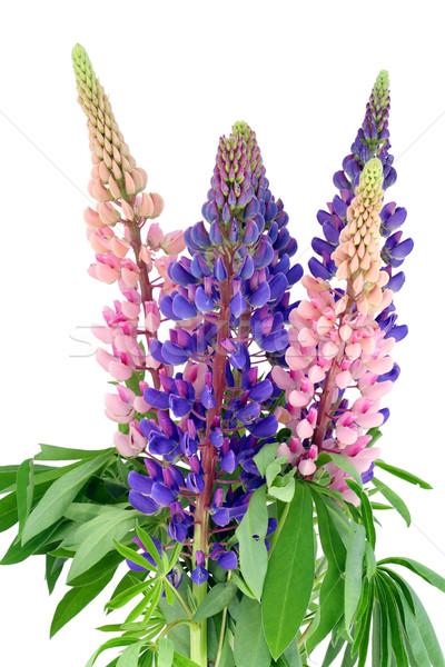 Bouquet from bluebonne Stock photo © vavlt
