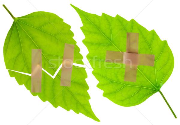 Ranny zielone liście gipsu odizolowany biały Zdjęcia stock © vavlt