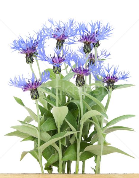 Bush of garden blue cornflowers  Stock photo © vavlt
