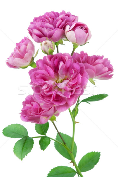 pink flower macro Stock photo © vavlt