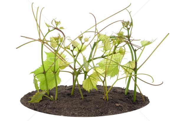 Jovem uvas cama macro isolado Foto stock © vavlt