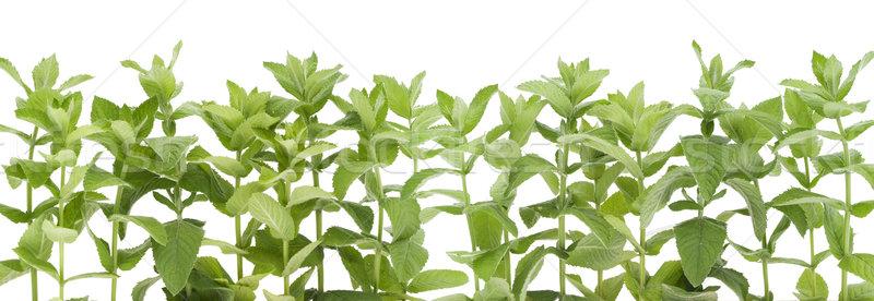 Foto stock: Fronteira · jardim · hortelã-pimenta · fresco · isolado · branco