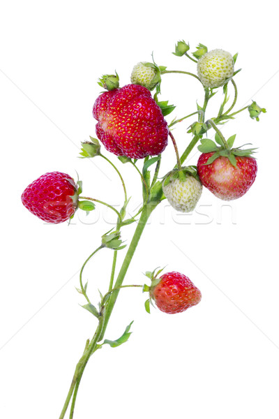ágak eprek izolált érett piros fehér Stock fotó © vavlt