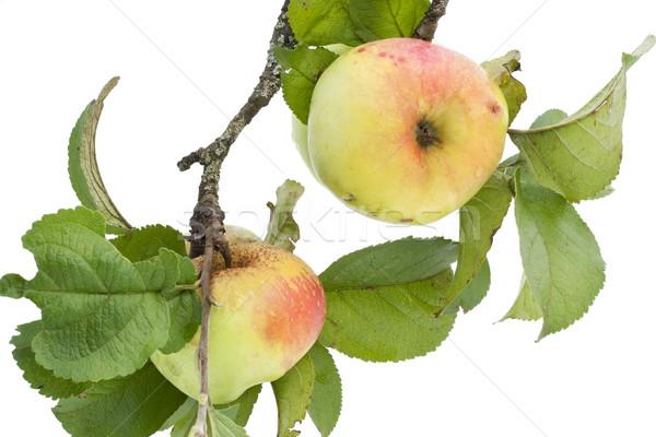 Real manzanas rama hojas aislado blanco Foto stock © vavlt