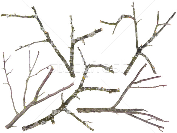 Old apple and cherries tree branches isolated Stock photo © vavlt