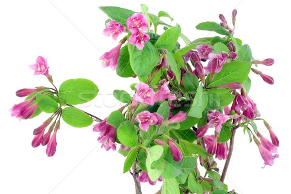 Pink Weigela background Stock photo © vavlt