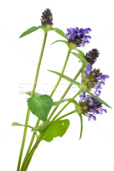 простой синий цветок макроса открытки изолированный Сток-фото © vavlt