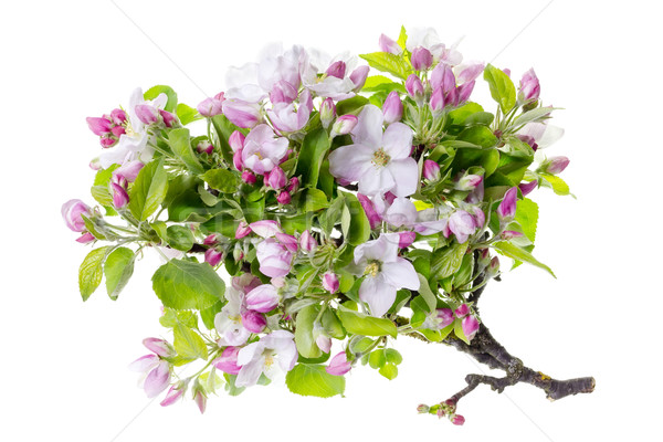 apple tree  flowers isolated Stock photo © vavlt