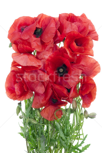 wild field  poppies bouquet Stock photo © vavlt