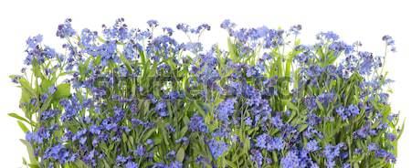 Thousands small dark blue florets Stock photo © vavlt