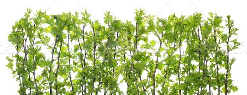 Geïsoleerd hek groene bladeren natuur Stockfoto © vavlt
