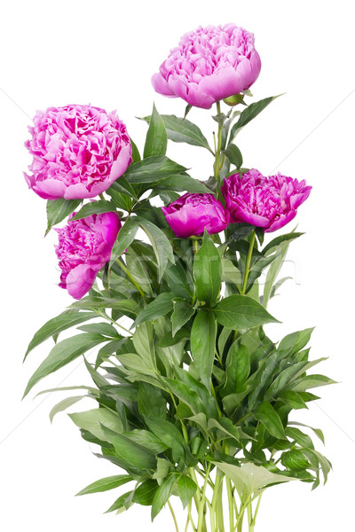 Big bush of the pink peonies  Stock photo © vavlt