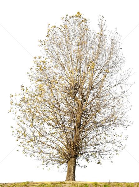 изолированный уродливые кривая дерево листьев белый Сток-фото © vavlt