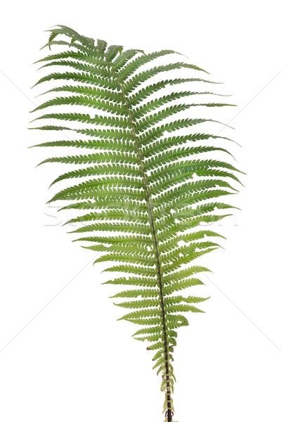 Fern real forest leaf isolated Stock photo © vavlt