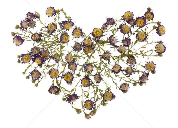 Száraz halott szív virágok izolált növény Stock fotó © vavlt