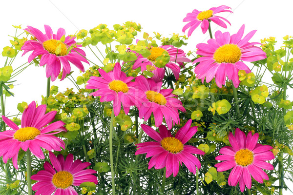 Pink camomiles background Stock photo © vavlt