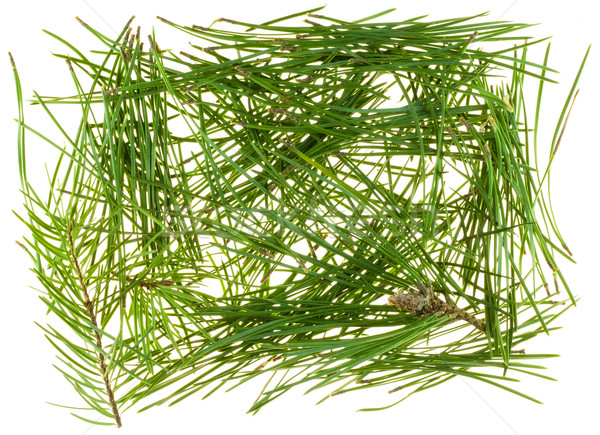 Needles of coniferous trees  Stock photo © vavlt