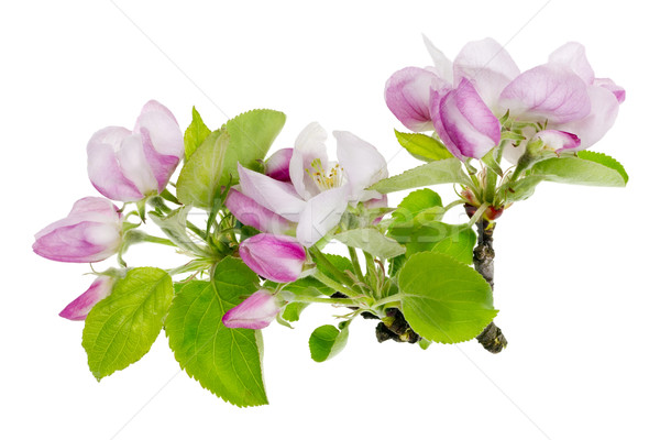 Pink apple tree isolated flowers macro Stock photo © vavlt