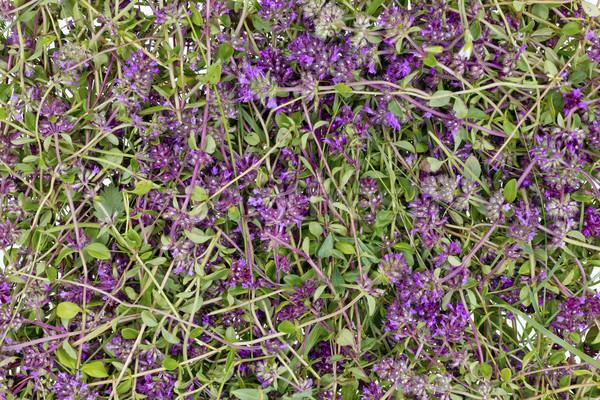 Thyme flower herb (Oregano) background Stock photo © vavlt