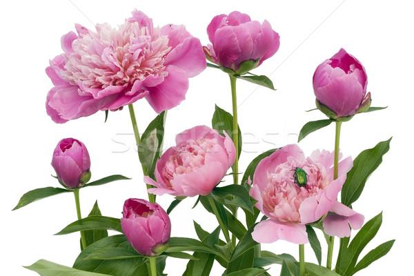 Rosa verde bicho isolado branco jardim Foto stock © vavlt